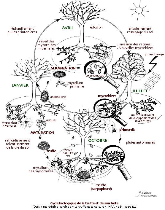 Schéma représentant le cycle des truffes