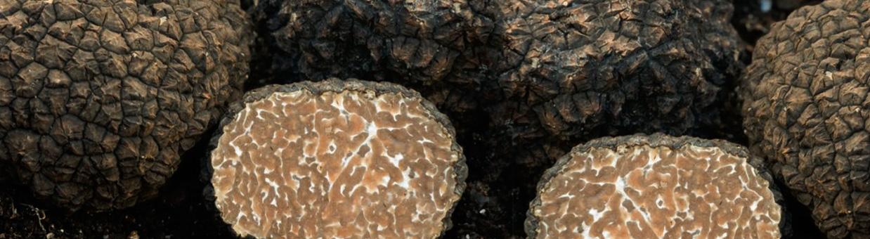 Truffes de Bourgogne Uncinatum